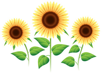 Sunflower set isolated on white background. Vector cartoon sunflowers plants for summer invitation