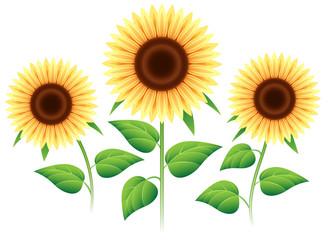 Sunflower set isolated on white background. Vector cartoon sunflowers plants for summer invitation