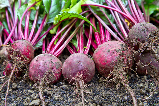 Freshly harvested beetroots on the ground. Beetroot