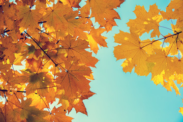 Maple branch with orange leaves against blue sky in the park in autumn