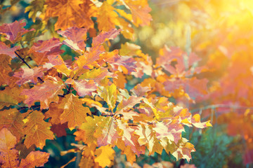 Oak branch with colorful leaves in the forest in autumn