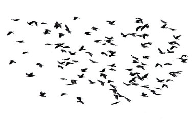 large flock of black birds flying isolated on white sky background