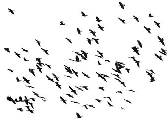 large flock of black birds crows flying on an isolated white background