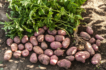The first harvest of young potatoes harvested on their backyard in early summer by beginning farmers