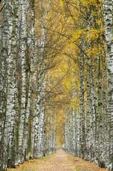 Alley of white birches.