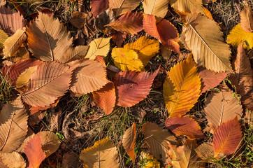 Hornbeam leaves on the ground