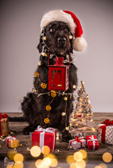 Black dog with christmas gift