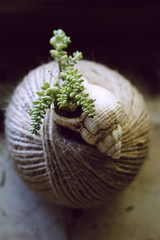 Tiny succulents planted in a sea shell.