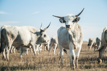 Gray cattles in the filed
