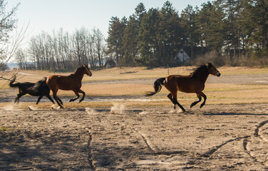 Running horses in a hungarian farm