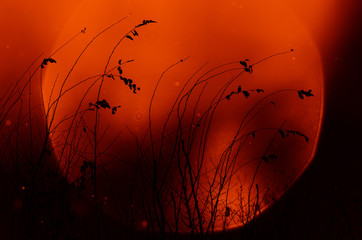 Poster de jardin Rouge plants at sunset silhouette against the setting autumn sky