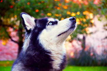 Siberian Husky with beautiful blue eyes, on a meadow in autumn, staring into the sky