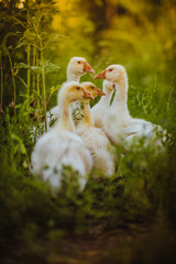 Five young goose together sit in the grass