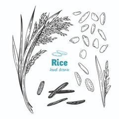 Rice vector hand drawn illustration