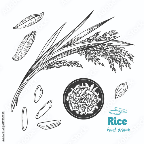 Rice vector hand drawn illustration