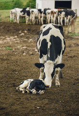 Cow birth