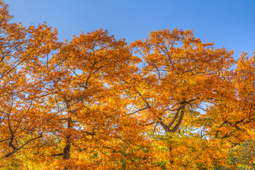 Colorful leafes in an autumn forest scenery