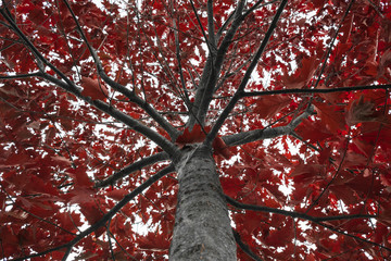 Red oak treetop with branches leading from the trunk covered in red autumn leaves. Quercus borealis, northern red oak