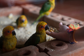 Hand feeding young parrots