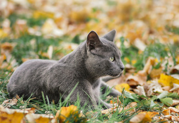 Russian blue cat outdoors in autumn nature