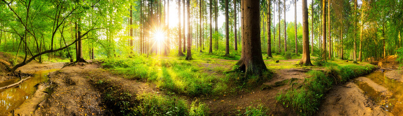Wall Mural - Beautiful forest panorama with big trees and bright sun