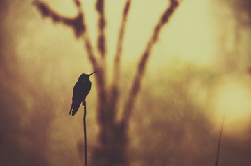 Silhouette of a hummingbird against golden background, Mindo, Ecuador