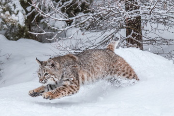 Photo on textile frame Lynx Bobcat
