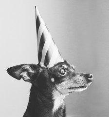 Little dog with party hat