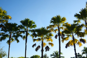 Palm trees with blue sky background