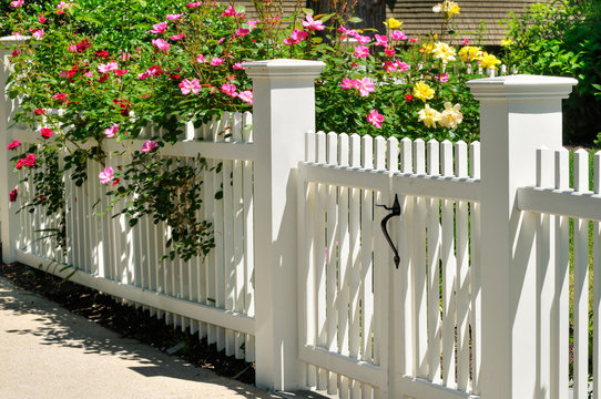 White Gate And Fence, Climbing Roses