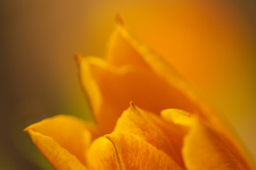 Macro of orange tulip flower