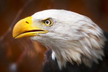 Fototapete - Bald Eagle closeup