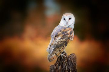 Wall Mural - Barn Owl closeup