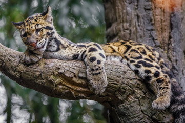 Printed kitchen splashbacks Leopard clouded leopard sleeping
