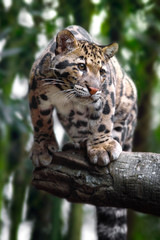 Door stickers Leopard clouded leopard on trees