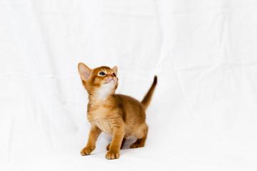 Abyssinian Kitty