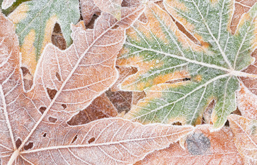 Bigleaf maple leaves covered with frost, closeup