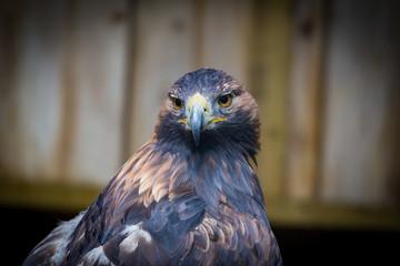 Fotomurales - Golden Eagle