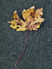 Close up of maple leaf in autumn