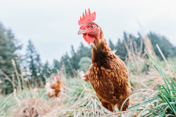 Curious free-range chicken on a small-scale organic farm