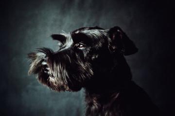 Black shnauzer terrier