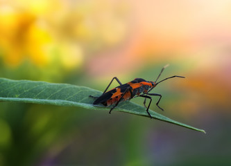 Macro of a Milkweed Bug in a Colorful Flower Garden