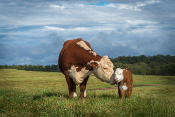 Spoed Foto op Canvas Koe Hereford Mama Cow and Baby Calf heifer bull white face