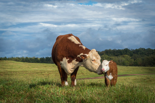 Hereford Mama Cow and Baby Calf heifer bull white face