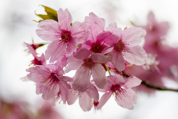 さくら 陽光-Cherry Blossoms/yōkō