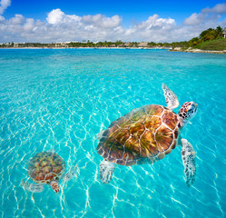 Papiers peints Caraibes Akumal beach turtles photomount Riviera Maya