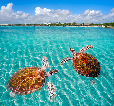 Akumal beach turtles photomount Riviera Maya