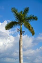 Palma real Royal palm tree on a blue sky