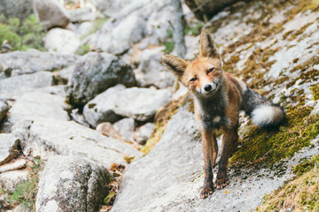 Cheeky fox looking to camera on rock landscape