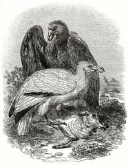Old grayscale illustration of two Egyptian Vulture (Neophron percnopterus), both eating a dead animal. By unidentified author, published on the Penny Magazine, London, 1835